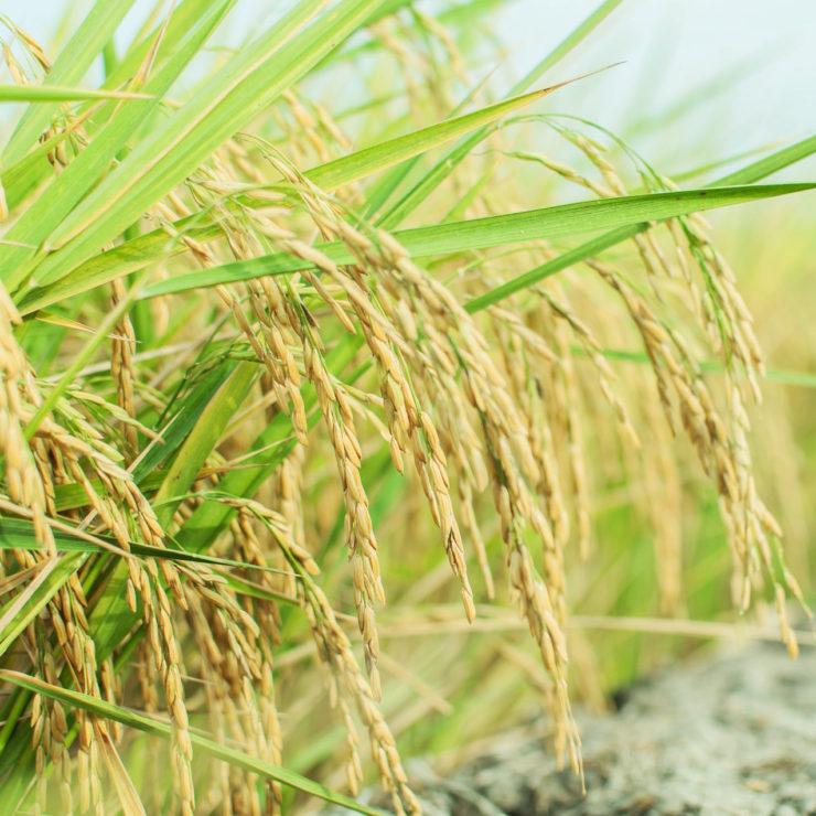 Что делает липкий рис?